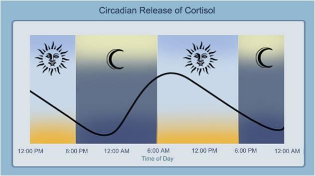 Cortisol-Rhythm